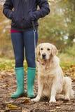 Закройте вверх зрелой женщины на прогулке осени с Лабрадором Стоковые Фото