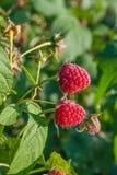 Закройте вверх зрелой и незрелой поленики в саде плодоовощ g Стоковая Фотография RF