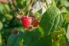 Закройте вверх зрелой и незрелой поленики в саде плодоовощ g Стоковое фото RF