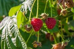 Закройте вверх зрелой и незрелой поленики в саде плодоовощ g Стоковое Изображение RF