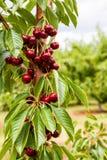Закройте вверх зрелых вишен на фруктовом дерев дереве Стоковое фото RF