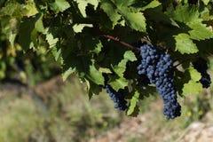 Закройте вверх зрелых красных виноградин готовых для сбора осени стоковые изображения