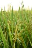 Закройте вверх зрея риса стоковое фото rf