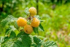 Закройте вверх зрелой и незрелой желтой поленики в плодоовощ ga Стоковая Фотография
