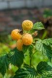 Закройте вверх зрелой и незрелой желтой поленики в плодоовощ ga Стоковые Фотографии RF