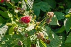 Закройте вверх зрелой и незрелой поленики в саде плодоовощ g Стоковая Фотография