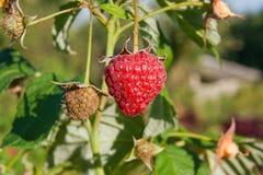 Закройте вверх зрелой и незрелой поленики в саде плодоовощ g Стоковое Фото