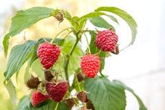Закройте вверх зрелой и незрелой поленики в саде плодоовощ g Стоковые Фотографии RF