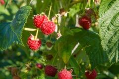 Закройте вверх зрелой и незрелой поленики в саде плодоовощ g Стоковые Изображения RF