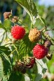 Закройте вверх зрелой и незрелой поленики в саде плодоовощ g Стоковые Изображения