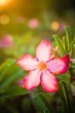 Закройте вверх импалы lilly Стоковая Фотография