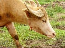 Закройте вверх индийского буйвола Стоковые Изображения RF