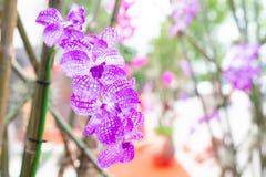 Закройте вверх искусственных фиолетовых орхидей вися на бамбуковом острословии дерева стоковая фотография