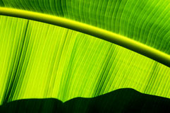 Закройте вверх лист банана показывая параллельные линии Стоковая Фотография