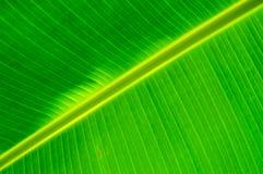 Закройте вверх лист банана показывая параллельные линии Стоковая Фотография RF