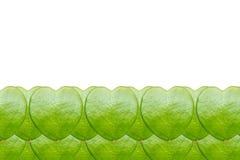 Закройте вверх лист hoya Стоковое Фото