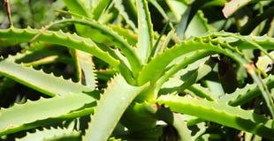 Закройте вверх кактуса Стоковое Изображение