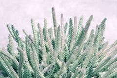 Закройте вверх кактусов Бледное ое-зелен изображение теней Стоковое Изображение