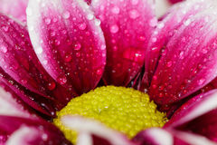 Закройте вверх капелек воды на цветках Стоковые Изображения