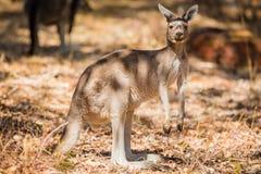 Закройте вверх кенгуру в одичалом Стоковые Фотографии RF