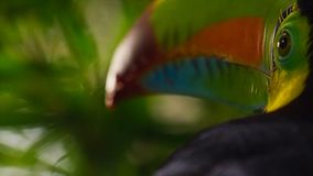 Закройте вверх Кил-представленного счет Toucan, sulfuratus Ramphastos, птицы в естественном Foz делает Iguacu, Бразилию стоковые изображения