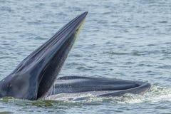 Закройте вверх кита Bryde Стоковое Фото