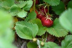 Закройте вверх клубник растя в фермеры поле, пук зрелых красных ягод выделил, доброта лета стоковое фото rf