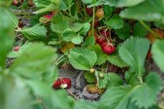 Закройте вверх клубник растя в фермеры поле, пук зрелых красных ягод выделил, доброта лета стоковые фотографии rf