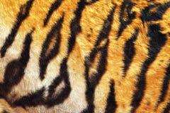 Закройте вверх кожи тигра красивой Стоковые Изображения