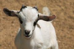 Закройте вверх козы карлика младенца Стоковое Изображение RF