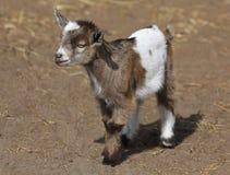 Закройте вверх козы младенца Стоковые Изображения RF