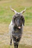 Закройте вверх козы Новой Зеландии смотря через загородку металла Стоковое Изображение RF