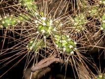 Закройте вверх комплекта терниев кактуса на куске металла стоковые фото