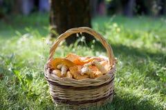 Закройте вверх корзины грибов лисички на зеленой траве Стоковые Изображения RF