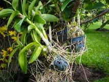 Закройте вверх корней орхидеи в пластичном баке Стоковая Фотография RF