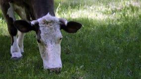 Закройте вверх коровы пася на луге Стоковое Изображение RF