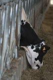 Закройте вверх коровы chianina есть сено Стоковое Изображение