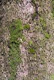 закройте вверх коры дерева камфоры Стоковая Фотография
