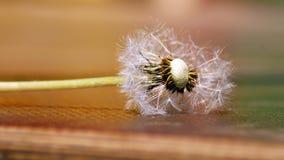 Закройте вверх, который выросли одуванчика и семян одуванчика на белой предпосылке Стоковое фото RF
