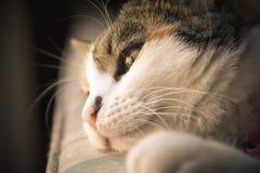 Закройте вверх красивого кота ситца Стоковое Фото