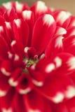 Закройте вверх красивого красного и белого цветка георгина Стоковая Фотография