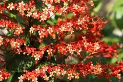 Закройте вверх красивого красного цветка пагоды Glorybower Стоковая Фотография