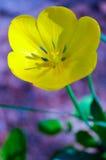 Закройте вверх красивого тюльпана Стоковые Изображения RF
