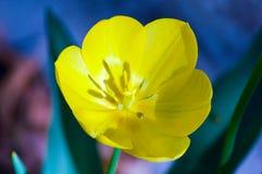 Закройте вверх красивого тюльпана Стоковая Фотография