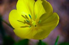 Закройте вверх красивого тюльпана Стоковая Фотография RF