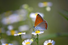 Закройте вверх красивой бабочки на цветке маргаритки Стоковые Изображения RF
