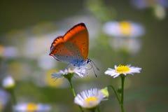 Закройте вверх красивой бабочки на цветке маргаритки Стоковое фото RF