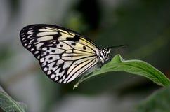 Закройте вверх красивой бабочки нимфы дерева Malabar отдыхая на лист Стоковая Фотография