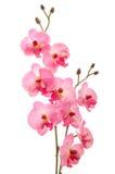 Закройте вверх красивой изолированной орхидеи Стоковое Изображение
