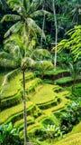 Закройте вверх красивой огромной пальмы в изумлять поля террасы риса Tegalalang, Ubud, Бали, Индонезию Стоковые Изображения